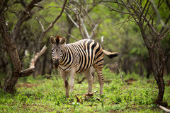 Young zebra standing in green foliage royalty free stock image