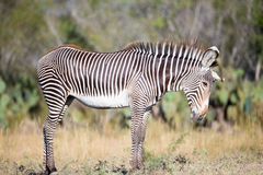 Young zebra standing with head down Stock Photography