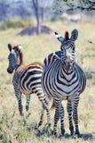 Zebra with foal, Zebra with baby, Zebra and calf in Serengeti, Tanzania Royalty Free Stock Photo