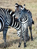 Young zebra standing next to his mother. On a background of grass Stock Photo