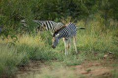 Zebra youngster feeding and swishing tail. A young zebra standing in the open swishing its tail chasing flies away royalty free stock photo