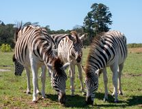 Free Young Zebra Stands Between Two Adult Zebras, Photographed At Knysna Elephant Park, Garden Route, Western Cape, South Africa. Royalty Free Stock Images - 145044099