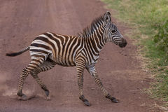 A young zebra suddenly stopping. A young Burchell's zebra (Equus quagga burchellii) suddenly stopping at the middle of the road during its run. Serengeti Royalty Free Stock Images