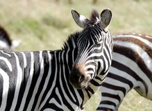 A young zebra turning its head Stock Photography
