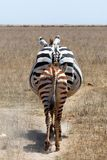 Young Zebra walking in its mothers footprints .... literally Stock Photography