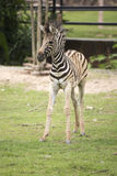 Young zebra walking Royalty Free Stock Photos
