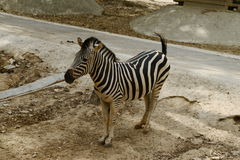 Young zebra walking in zoopark Royalty Free Stock Image