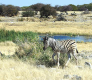 Young Zebra at Waterhole. A very young zebra at a waterhole in the wild in namibia, africa Royalty Free Stock Images