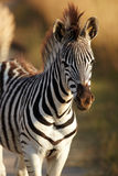 Young Zebra Royalty Free Stock Photos