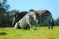 Young zebras fighting Royalty Free Stock Images