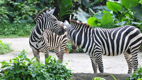 Young zebras interacting Stock Photography