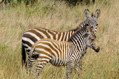 Young zebras Royalty Free Stock Photo