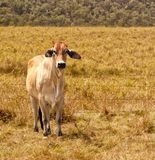 Young Zebu Brahman Cow Stock Image