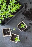 Young zinnia seedlings Stock Image