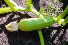 Young zucchini in the garden. Royalty Free Stock Images