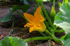 A young zucchini plant with a yellow flower in the spring. And summer stock image