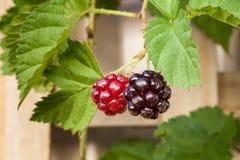 Youngberryfrukt och sidor som upp växer ett Wood galler Royaltyfri Fotografi