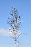 Youngbirch树 库存照片