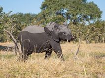 Younger elephant with crippled trunk walking away from Kwai river, Moremi NP, Botswana. Africa Royalty Free Stock Photo