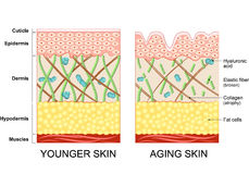 Younger skin and older skin. Younger skin and aging skin. elastin and collagen. A diagram of younger skin and aging skin showing the decrease in collagen and Royalty Free Stock Image