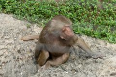 Papio hamadryas. The youngest type of baboon. There is an obvious type of male and male type in type two. The average weight of males is 20-30 kilograms, while Royalty Free Stock Photo