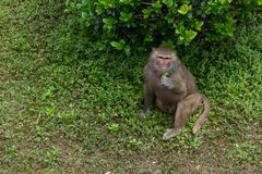 Leaf eating-Papio hamadryas. The youngest type of baboon. There is an obvious type of male and male type in type two. The average weight of males is 20-30 Stock Photos