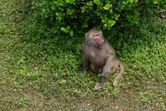 Enjoy the cool air under the tree-Papio hamadryas. The youngest type of baboon. There is an obvious type of male and male type in type two. The average weight of Royalty Free Stock Image