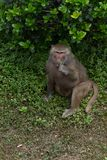 Leaf eating-Papio hamadryas. The youngest type of baboon. There is an obvious type of male and male type in type two. The average weight of males is 20-30 Stock Image
