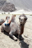 Youngl brown Camel. Royalty Free Stock Image