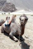 Youngl brun kamel. Royaltyfri Bild