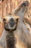 Youngl Camel. Youngl brown Camel Royalty Free Stock Photos
