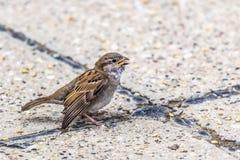 Youngling与受伤的翼的黄色额嘴麻雀-在Crossro 图库摄影