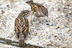 Youngling Yellow-Beak Sparrow Fed By Its Parent Royalty Free Stock Images