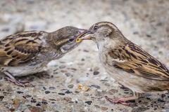 Youngling Yellow-Beak Sparrow Fed By Its Parent. Photograph of youngling yellow-beak Sparrow fed by its parent Stock Images