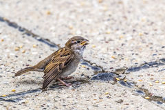Sparrow With Injured Wing - At Crossroads Stock Photography