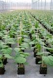Youngplants del pepino Imagen de archivo libre de regalías