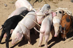 Youngs pigs tied. Royalty Free Stock Photos