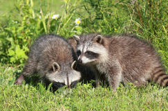 Youngs raccoons stock photography