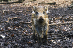 Youngster boar Royalty Free Stock Image