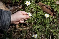 Youngster collecting wood anemone. In the forest Royalty Free Stock Photos