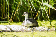 Youngster coot resting on tree trunk near reed. Leiden. Zuid-Holland. The Netherlands Royalty Free Stock Images