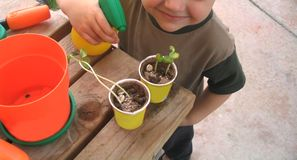 Youngster watering plants. Three-year old sprays water onto two cups containing sunflower seedlings Stock Photos