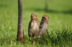 Youngsters. Two juvenile burrowing owls outside their nest Royalty Free Stock Photo