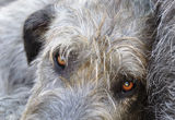 For your eyes only. Close-up portrait of an Irish Wolfhound - eyes only royalty free stock image