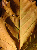 Your Inner Leaf. The vascular system of a downed and browning leaf during Autumn stock photo