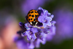 Your little fortune. Ladybug on the meadow flower. Macro photography of wildlife Stock Photography