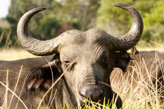 Your to CLOSE -African Buffalo Syncerus caffer. The African buffalo or Cape buffalo is a large African bovine. It is not closely related to the slightly larger royalty free stock photos