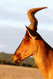 Your to CLOSE - Red Harte-beest - Alcelaphus buselaphus caama. Alcelaphus buselaphus caama - The red hartebeest is a species of even-toed ungulate in the family stock photography