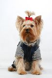 Youth dog. Amusing yorkshire terrier with a red bow Royalty Free Stock Images