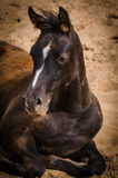 Youth , grace Arabian foal. Royalty Free Stock Photography
